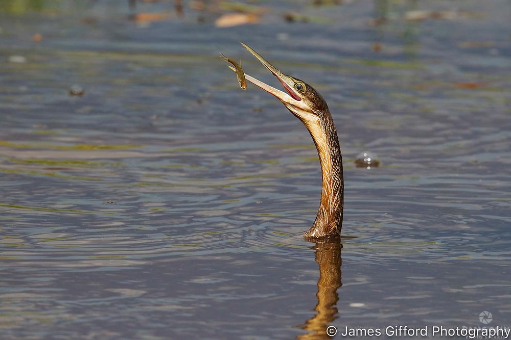 African Darter, Savute, Botswana