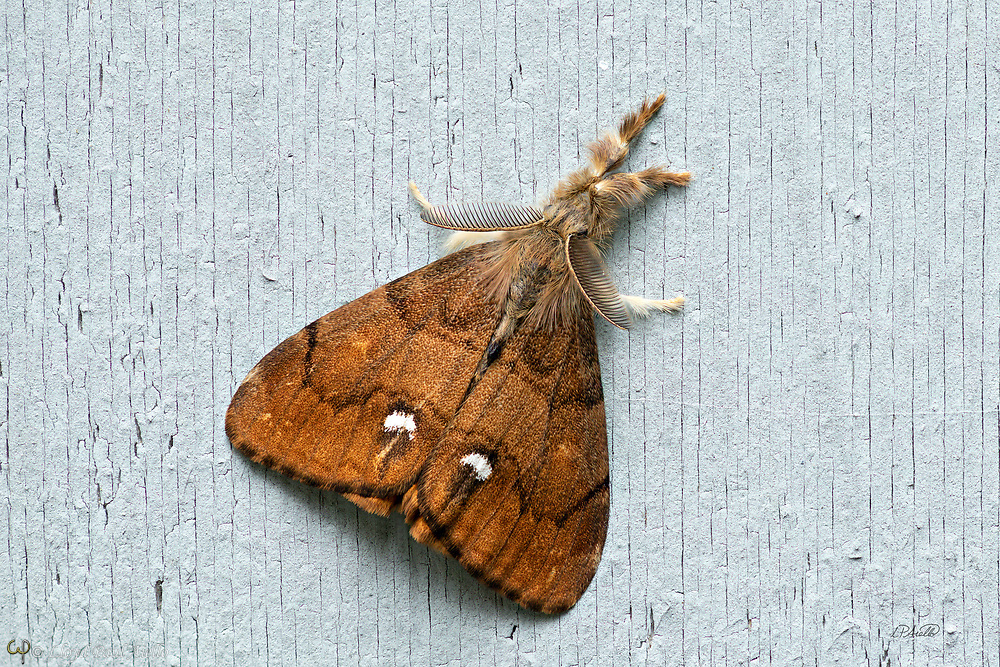 The Rusty Tussock Moth or Vapourer (Orgyia antiqua) is native to Europe, but now has a transcontinental distribution.  A striking dimorphism exists between the male and the female moths of this species. The male moth shown here typically has orange to red-brown wings.  Each fore wing has a white comma-shaped (tornal) spot. He has marked plumose (short, bipectinate) antennae and a wingspan between 35 and 38 mm (~1.5 in). The female moth has vestigial wings and is flightless.  Several hundred eggs are laid on the outside of the female's empty cocoon, usually attached to a host plant.  The species overwinters in the egg stage. <br /> <br /> The adult moths do not feed, so only live a short time. In North America, only one generation occurs in a year and fly between May and October.  The males are diurnal, flying during the day, but are occasionally attracted to light.  This individual was photographed during the day in August in Kingfield, Maine.<br /> <br /> The image is a focus stack of 34 exposures.