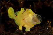 Yellow painted frogfish: Antennarius pictus, side profile on volcanic sand, Tulamben, Bali
