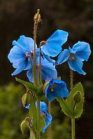 Blue poppies blooming in Kodiak, Alaska garden