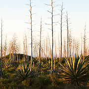 A sunrise landscape of agave plants and trees near Cabo de Gata-Níjar Natural Park in Almeria, Andalucia, Spain.<br />