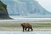 A brown bear adult searches for salmon in the lower lagoon at the McNeil River State Game Sanctuary on the Kenai Peninsula, Alaska. The remote site is accessed only with a special permit and is the world's largest seasonal population of brown bears in their natural environment.