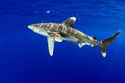 oceanic whitetip shark, Carcharhinus longimanus, with remora, Remora sp., IUCN Vulnerable Species, Kona Coast, Big Island, Hawaii, USA, Pacific Ocean