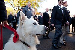 © Licensed to London News Pictures. 10/11/2013. Birmingham, UK .Pictured, Jackson, wears his poppy with pride during the march past. Birmingham Remembrance Service, Millennium Square. Photo credit : Dave Warren/LNP