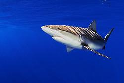 Galapagos shark, Carcharhinus galapagensis, offshore, North Shore, Oahu, Hawaii, USA, Pacific Ocean