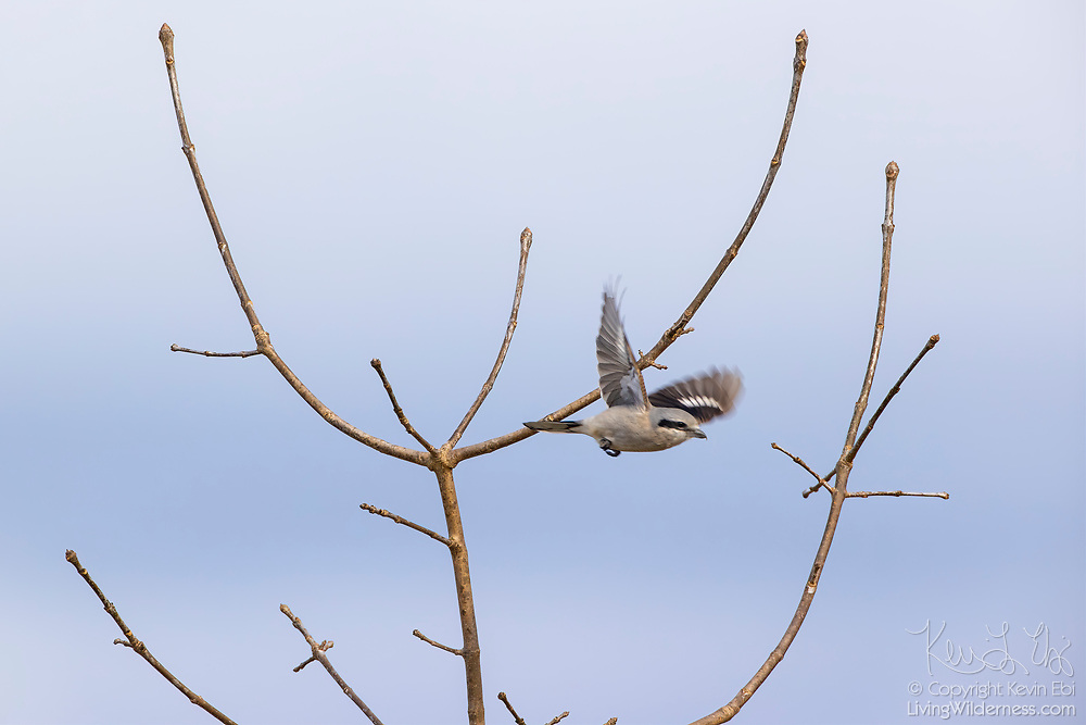 A northern shrike (Lanius borealis) dives from its perch in a bare tree to hunt in a meadow at Marymoor Park, Redmond, Washington. The northern shrike hunts for birds, small mammals and insects in brushy, semi-open habitats.