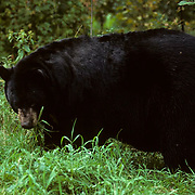 Black Bear, (Ursus americanus) Large male grazing on grasses in green meadow. Late fall.