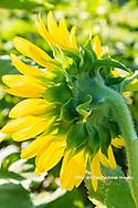 63801-11215 Sunflower in field Jasper Co.  IL