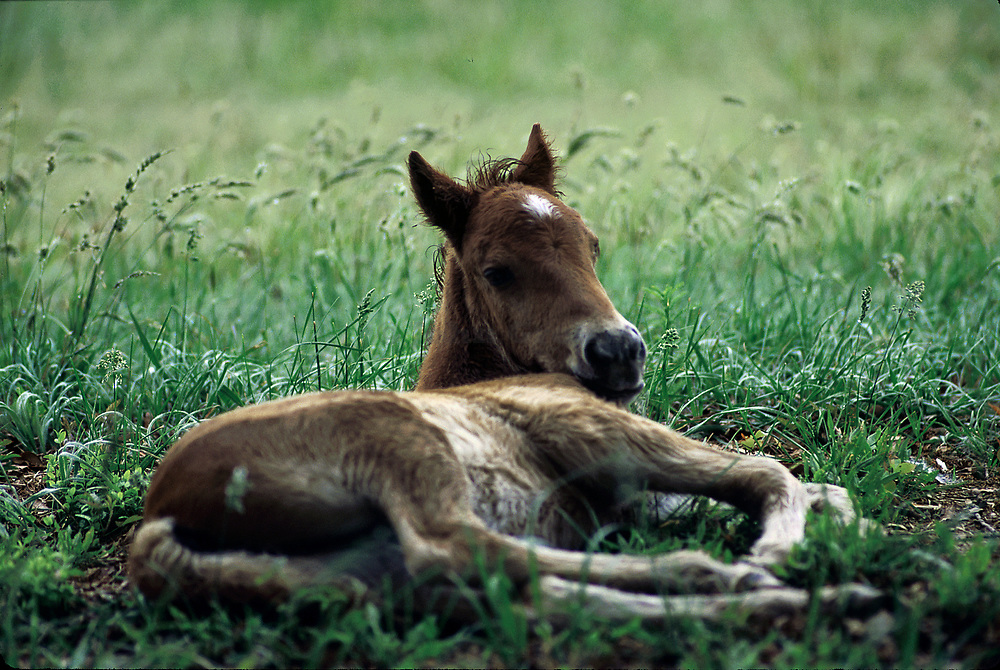 Wild Spanish mustang foal laying in the grass. Outer Banks, North Carolina