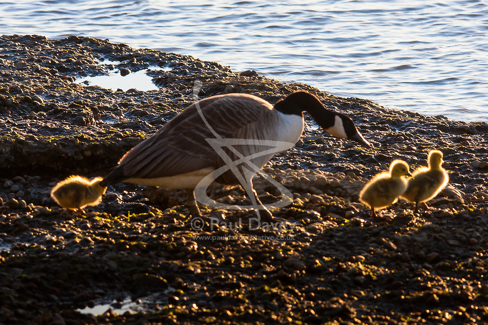 Battersea, London, April 29th 2015. After a day that started off with gloomy, damp weather, Londoners are rewarded with a beautiful spring sunset. PICTURED: A canada goose and her goslings make for the safety of the river.