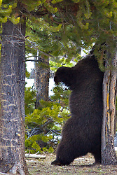 Huge Grizzly Bear, the Preacher, scratching his back in Yellowstone National Park