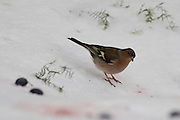 Chaffinch. Male chaffinch (Fringilla coelebs) in the snow. Chaffinches are non-migratory birds that eat mainly seeds. They are found in gardens and woodlands all over Europe. Photographed in Israel in January