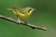 Kentucky Warbler - Oporornis formosus