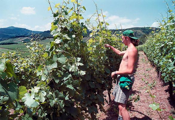Frankrijk, Elzas, 7-7-2002Vakantiewerker, landarbeider verwijdert de uitlopers van de druivenstokken. wijnbouw, druiventeelt, wijnstok, economie, wijnproductieFoto: Flip Franssen/Hollandse Hoogte