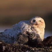 Snowy Owl, (Nyctea scandiaca) Adult on nest with chicks. Barrow, Alaska.