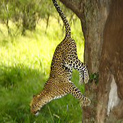 Leopard (Panthera pardus) jumping from a tree. Serengeti National Park, Tanzania, Africa