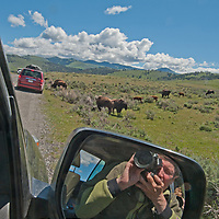 A photographer shoot pictures of American bison grazing by the road in Yellowstone National Park, Wyoming.