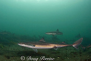 spiny dogfish or piked dogfish or spurdogs, or dog sharks ( Squalus acanthias ), Quadra Island off Vancouver Island<br /> British Columbia  Canada ( Discovery Passage )