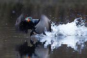 A double-crested cormorant (Phalacrocorax auritus) runs on the surface of Scriber Lake in Lynnwood, Washington to take flight.