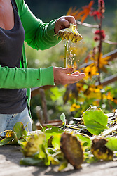 Carol Klein collecting seed from sunflowers. Clearing away the chafe by tapping