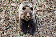Adult grizzly bear in western Wyoming