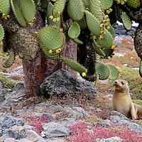 South America, Ecuador, Galapagos, South Plaza Island. A Sea Lion rests under Prickly Pear Cactus Tree, Plaza Island, Galapagos.