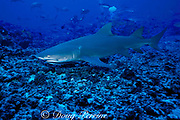 Indo-Pacific lemon shark or sicklefin lemon shark, Negaprion acutidens, Moorea, Society Islands, French Polynesia ( South Pacific Ocean )