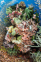 Ambush in the making:  A Scorpionfish (center) lays in wait for an unwary Sweeper to get too close.<br /> <br /> Shot in Indonesia