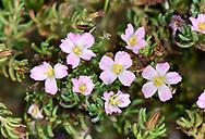 Sea-heath - Frankenia laevis
