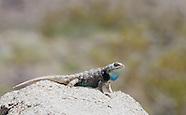 Desert Spiny Lizard, Sceloporus magister