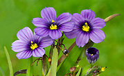 Close-up of a small group of Sisyrinchium 'Rocky Point' growing in West Acre Gardens in Norfolk