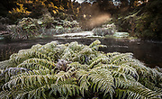 Frosted ferns, Okarito river, West Coast, New Zealand.