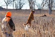 "Golden retriever ""Kaya"" hunts pheasants in South Dakota"