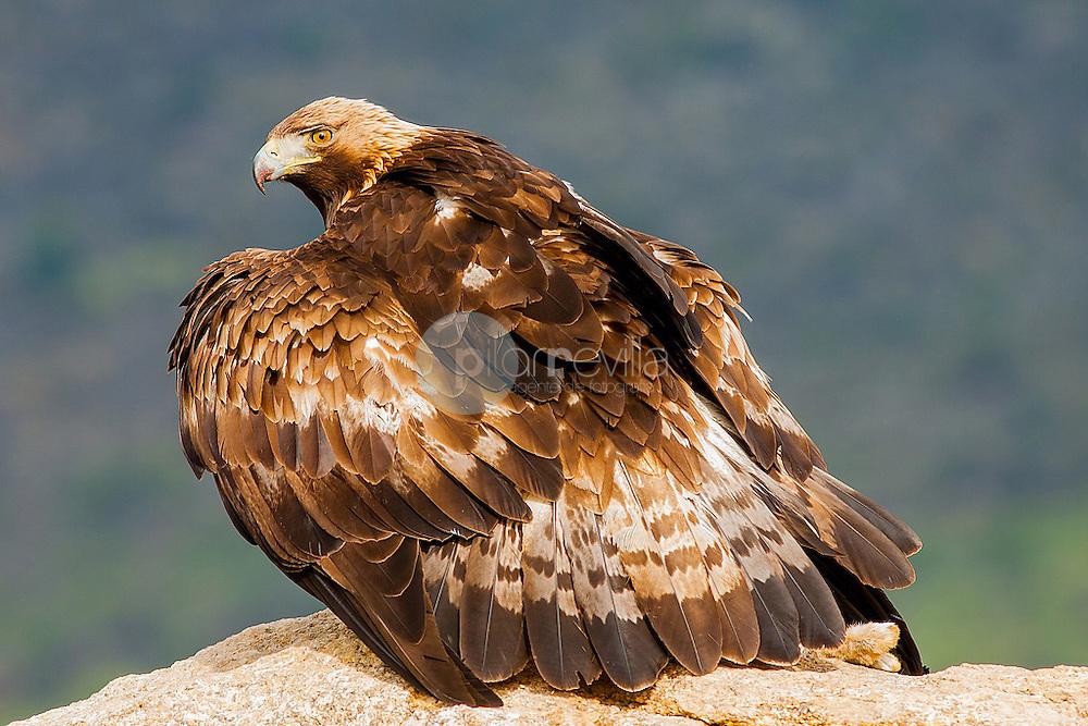 Aguila Real. Avila. Castilla y Leon, España. Europa ©Javier Abad Country Sessions / PILAR REVILLA