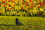 A crow is the only visitor as the tulip gardens bloom in front of Buckingham Palace on 16th April 2020 in London, United Kingdom. Normally crowded with people London is like a ghost town as workers stay home under lockdown during the Coronavirus pandemic.