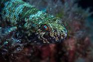 Saurida nebulosa (Nebulous Lizardfish)