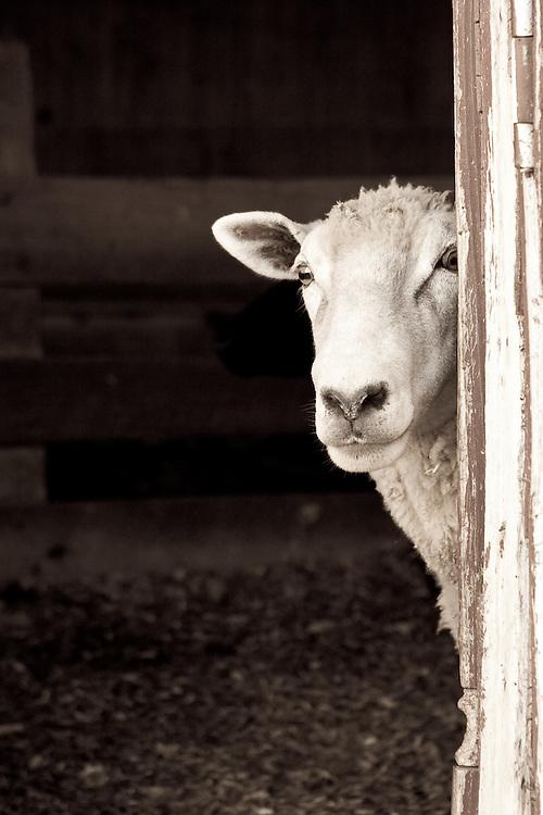 Curious sheep peeking out the barn door.