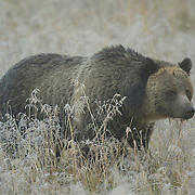 Grizzly bear (Ursus horribilis) female in a frosty meadow during the fall, Yellowstone National Park.
