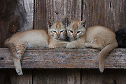 Kittens<br /> These are pets and are also eaten<br /> Apatani Tribe<br /> Ziro Valley, Lower Subansiri District, Arunachal Pradesh<br /> North East India