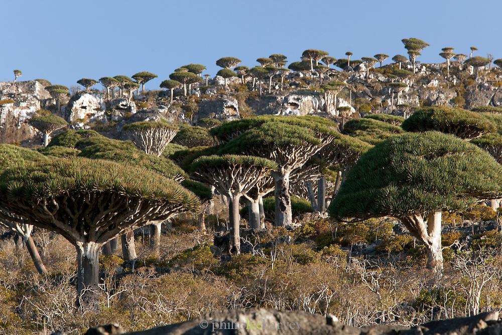 The Dragon Blood Tree Forest near Dixsam, Socotra, Yemen