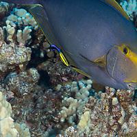Eyestripe Surgeonfish, Acanthurus dussumieri, Valenciennes, 1835, Maui Hawaii
