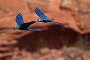 Canudos_BA, Brasil.<br /> <br /> A Estacao Biologica de Canudos e uma reserva biologica particular, com area de 1477 hectares localizados no sertao do estado da Bahia. Pertencente a ONG Biodiversitas, a reserva foi criada em 1989 com a finalidade de garantir a preservacao da arara-azul-de-lear (Anodorhynchus leari). Esta ave e endemica na caatinga baiana e encontra-se ameacada de extincao. Na foto arara-azul-de-lear  (Anodorhynchus leari).<br /> <br /> <br /> Lear's Macaw Canudos Reserve and a particular biological reserve, with an area of 1477 hectares located in Bahia. Belonging to NGOs Biodiversitas, the reserve was created in 1989 for Macaw of Lear preservation. In this photo Macaw of Lear (Anodorhynchus leari).<br /> <br /> Foto: JOAO MARCOS ROSA / NITRO