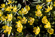 Aconites growing in meadow, Oxfordshire, United Kingdom