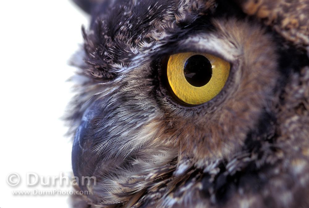 Detail of a great horned owl (Bubo virginianus) in studio.