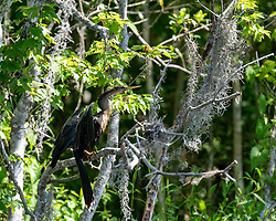 Female Anhinga drying it's wings on the Silver River in Ocala Florida.