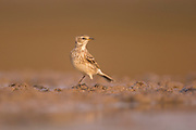 The water pipit (Anthus spinoletta) is a small passerine bird which breeds in the mountains of Southern Europe and the Palearctic eastwards to China. It is a short-distance migrant; many birds move to lower altitudes or wet open lowlands in winter Photographed in Ein Afek, Israel in October