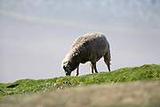 A sheep grazing on Saunders Island on Sunday 4 February 2018.