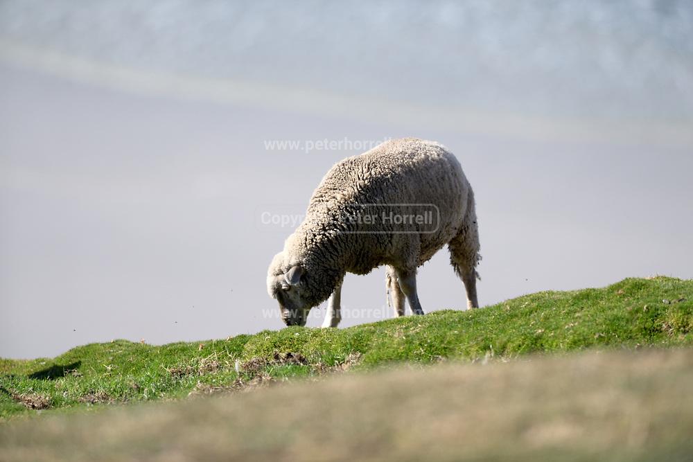 A sheep grazing on Saunders Island on Sunday 4 February 2018.