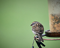 Chipping Sparrow. Image taken with a Nikon D5 camera and 600 mm f/4 VR lens (ISO 1600, 600 mm, f/5.6, 1/640 sec).