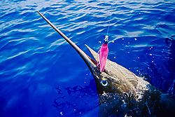 blue marlin, Makaira nigricans, off Kona Coast, Big Island, Hawaii, USA, Pacific Ocean